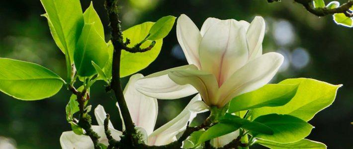 Magnolien im kleinen Garten